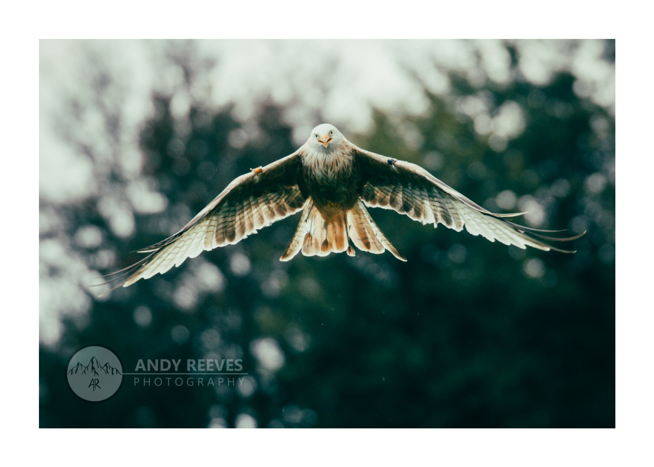 Red Kites' Glory