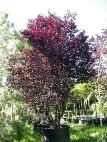 alberi per giardini, prunus, alberi da frutto