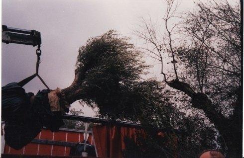 posa alberi, sollevamento albero, alberi di olivo