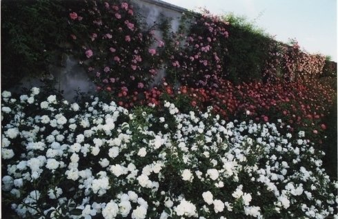 rose a cespuglio, roseti, rose rosse