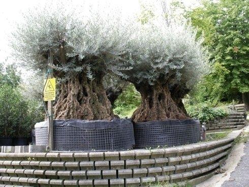 vivaio, alberi grandi, alberi secolari