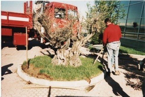 alberi, piantumazione arbisti, ulivi