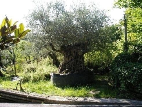 alberi di ulivo, alberi da frutto, alberi per ville