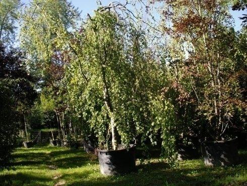 Le piante ed i fiori torino sartorelli vivai fotogallery for Alberi in vendita