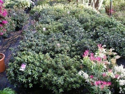 piante di azalea, piante stagionali, piante per aiuole