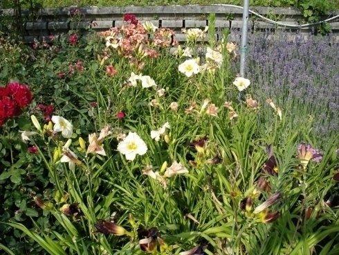 piante con fiori, fiori bianchi, piantine da balcone