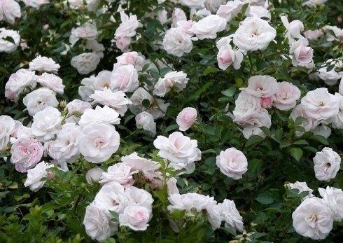 rose bianche, rose sfumate, rose a cespuglio