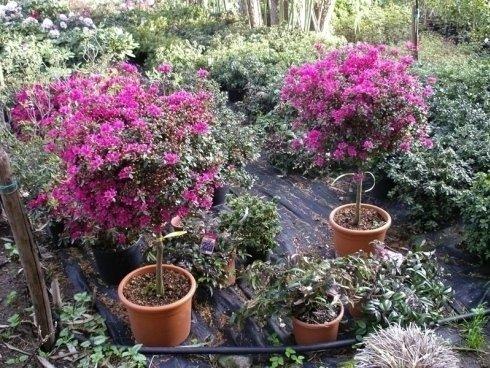 alberelli di azalea, piante stagionali, piante da balcone