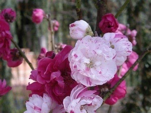 rose fucsia, rose con striature, rose rampicanti