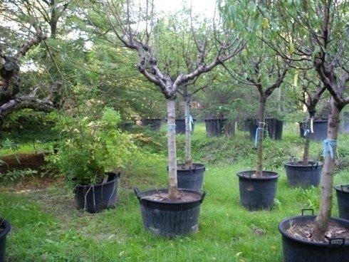 alberi da frutto, alberi per giardini, posa alberi