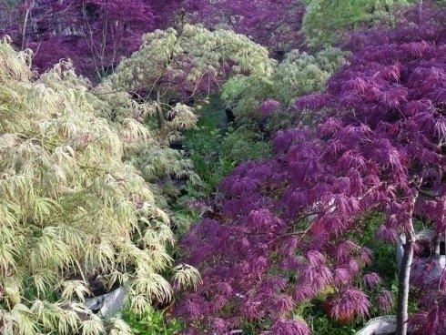 Le piante ed i fiori torino sartorelli vivai fotogallery for Aceri giapponesi