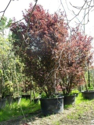 prunus, alberi sempreverdi, alberi per parchi