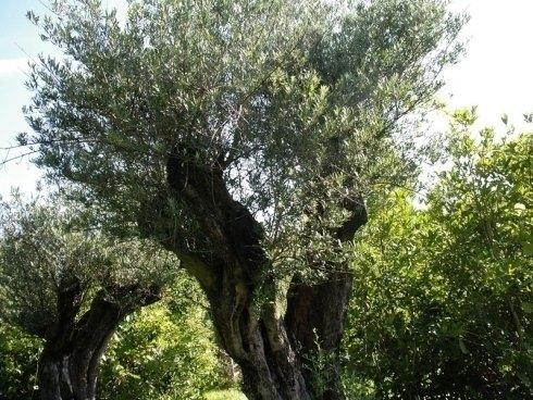 alberi di ulivo, alberi da frutto, alberi per parchi
