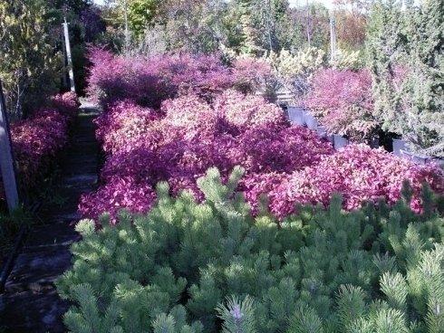 piante per bordure, piante da siepe, piante con foglie colorate