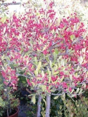 alberi con bacche, alberelli con fiori, alberelli per bordure