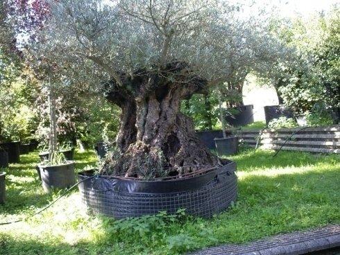 Piante Da Giardino, Alberi Di Ulivo, Fornitura Grandi Alberi