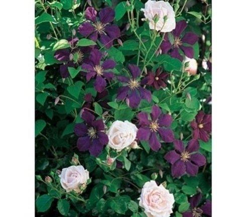 piante rampicanti, piante di rosa, piante di clematis