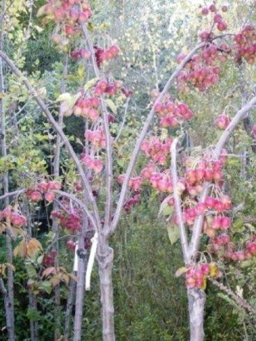 alberi da frutto, alberelli con bacche, alberi da giardino