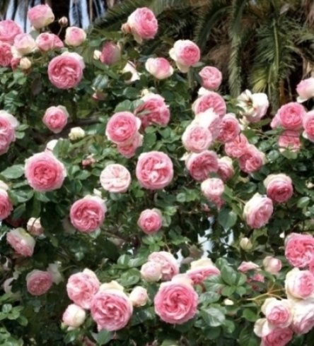 rose a cespuglio, rose di varie specie, rose tappezzanti