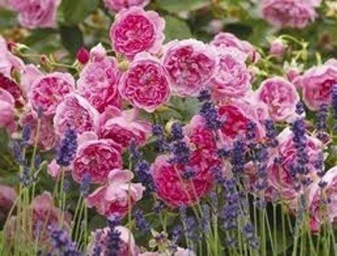 rose fucsia, lavanda, rose in vari colori
