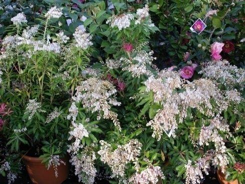 piante con fiori bianchi, piante a cespuglio, piante con fiori