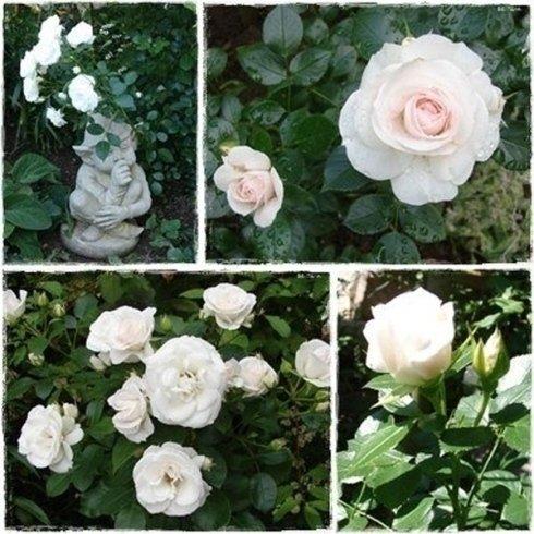 rose inglesi, rose a cespuglio, rose rampicanti