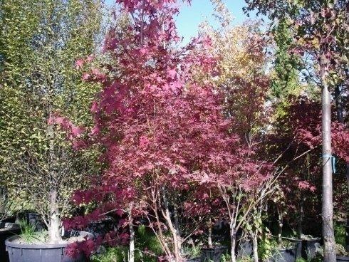 alberi alto fusto, alberi con foglie rosse, alberi da giardino