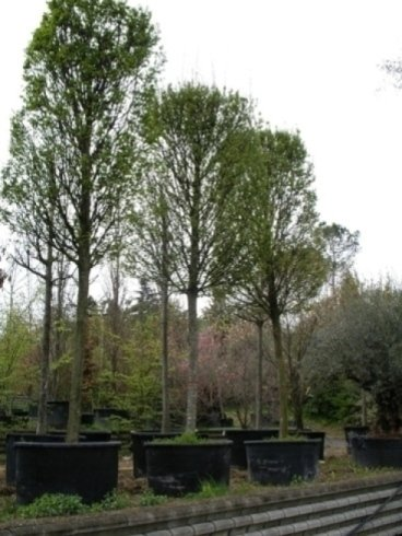 alberi alto fusto, alberi grandi, alberi da giardino