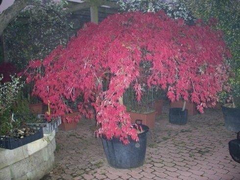 Acero Rosso, Acero Giallo, Acero Piccolo