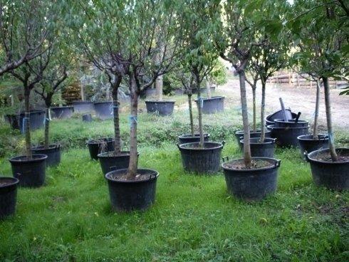 alberi da frutto, alberi per giardino, alberi per parchi
