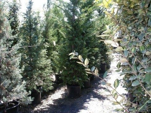 alberi sempreverdi, alberi da parco, alberi da giardino