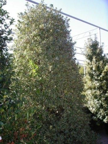 alberi da bordure, alberi piccoli, alberi con foglie a due colori