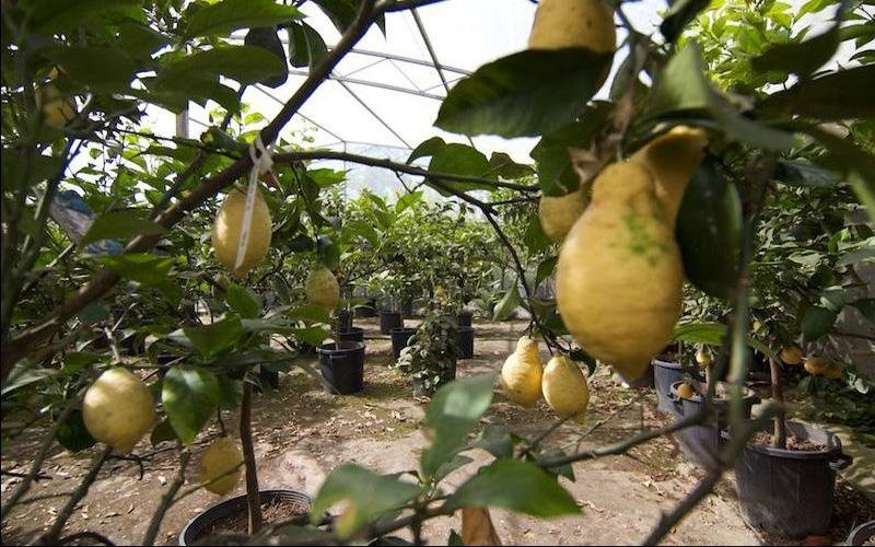 Alberi da frutto San Felice Circeo