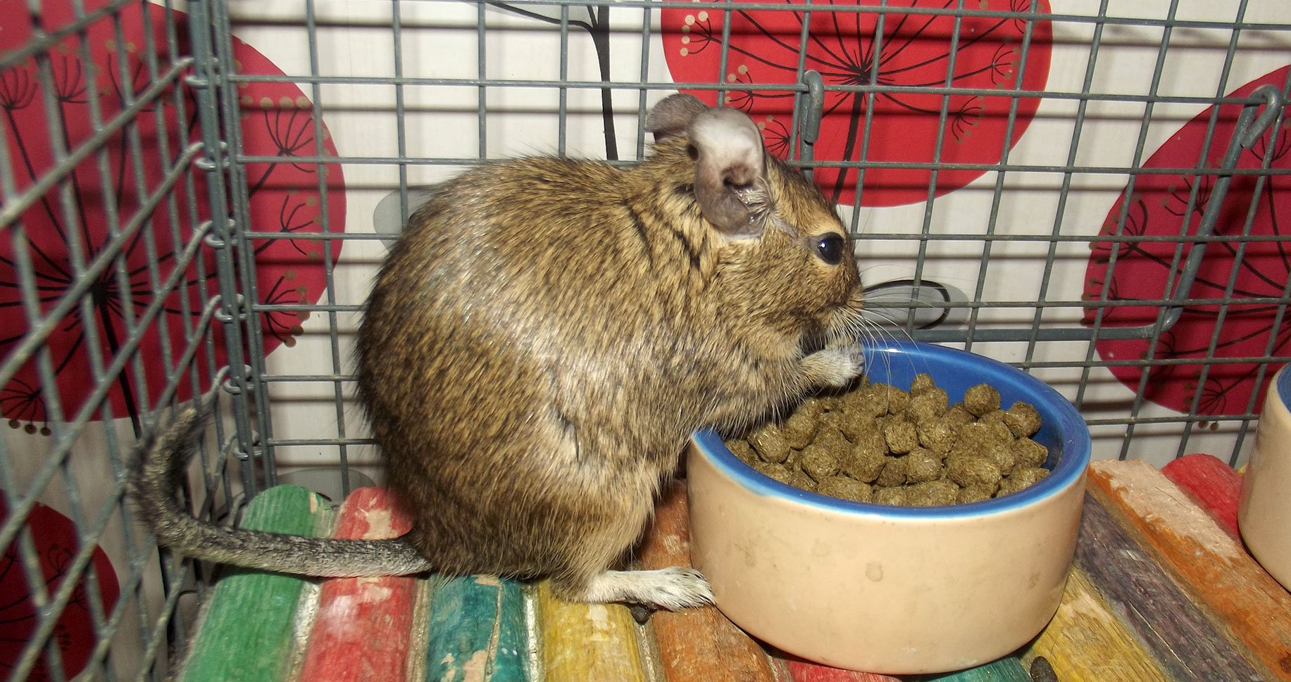 Image of a degu in a cage eating degu nuggets