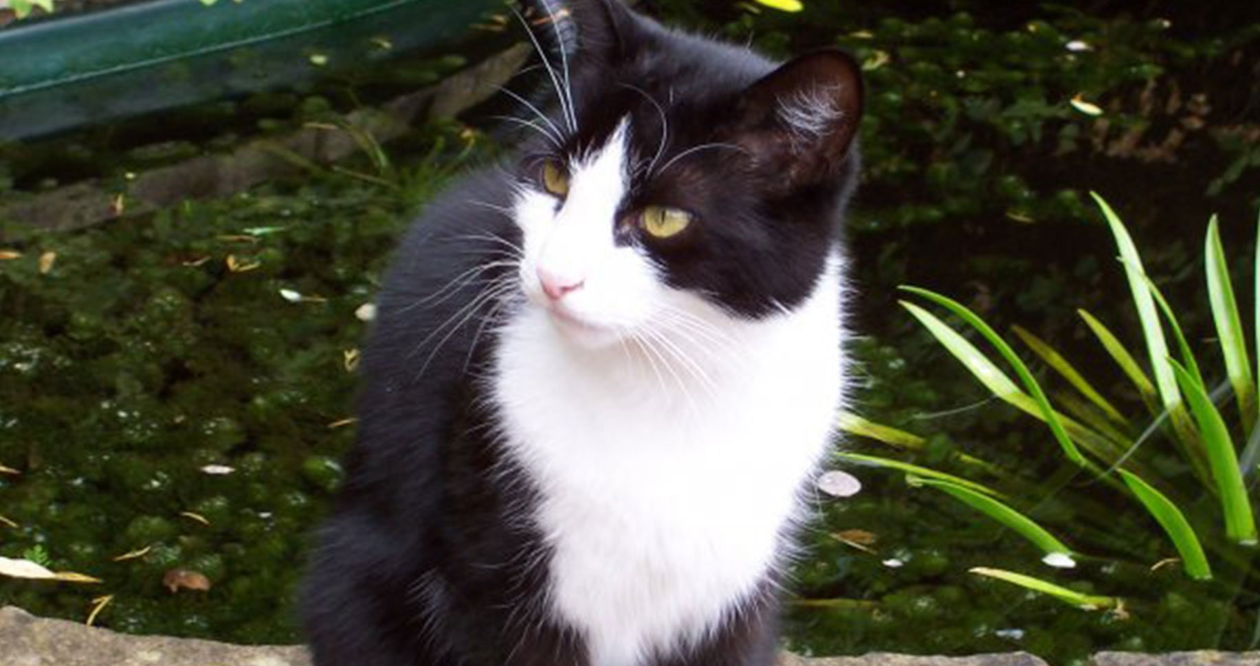 Image of a black and white cat sitting by a pond in a garden