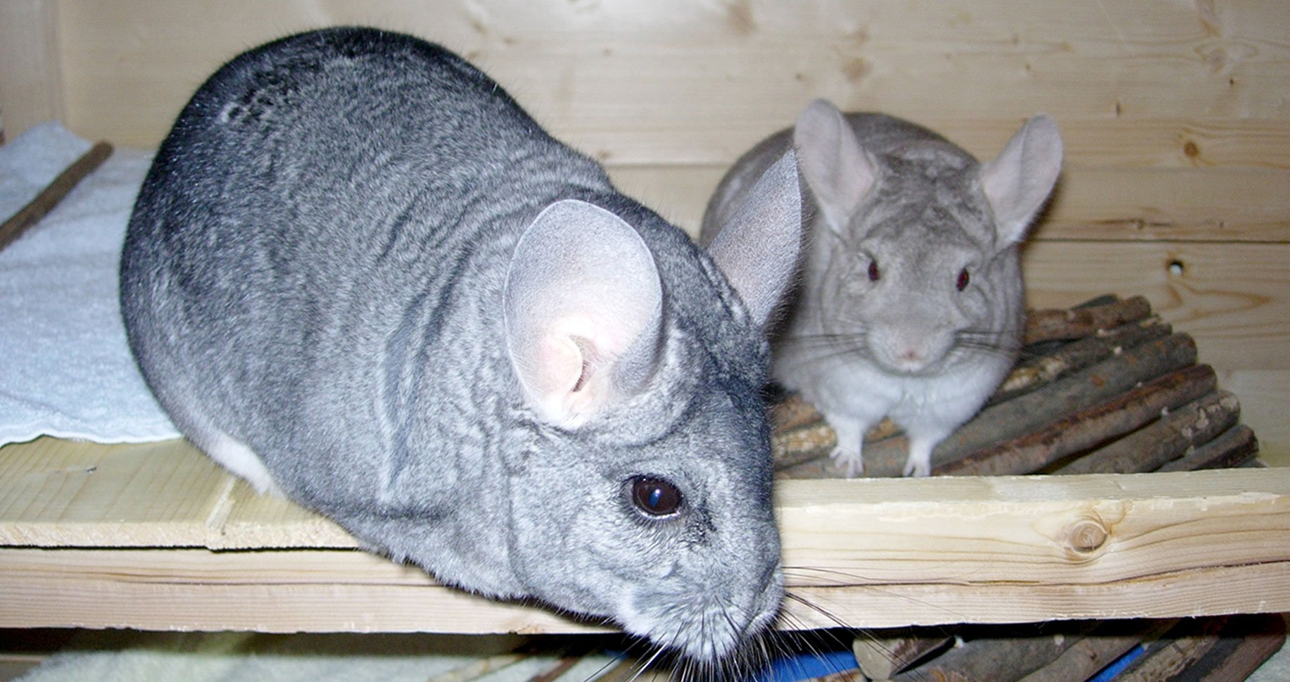 Image of a two grey chinchillas