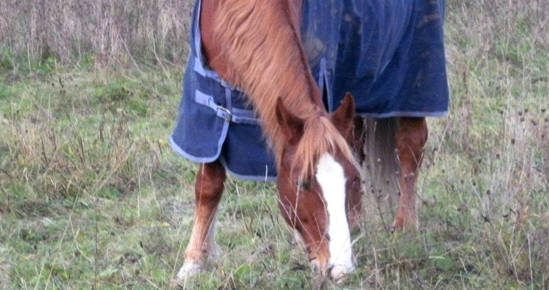 Image of a chestnut pony with a white blaze grazing
