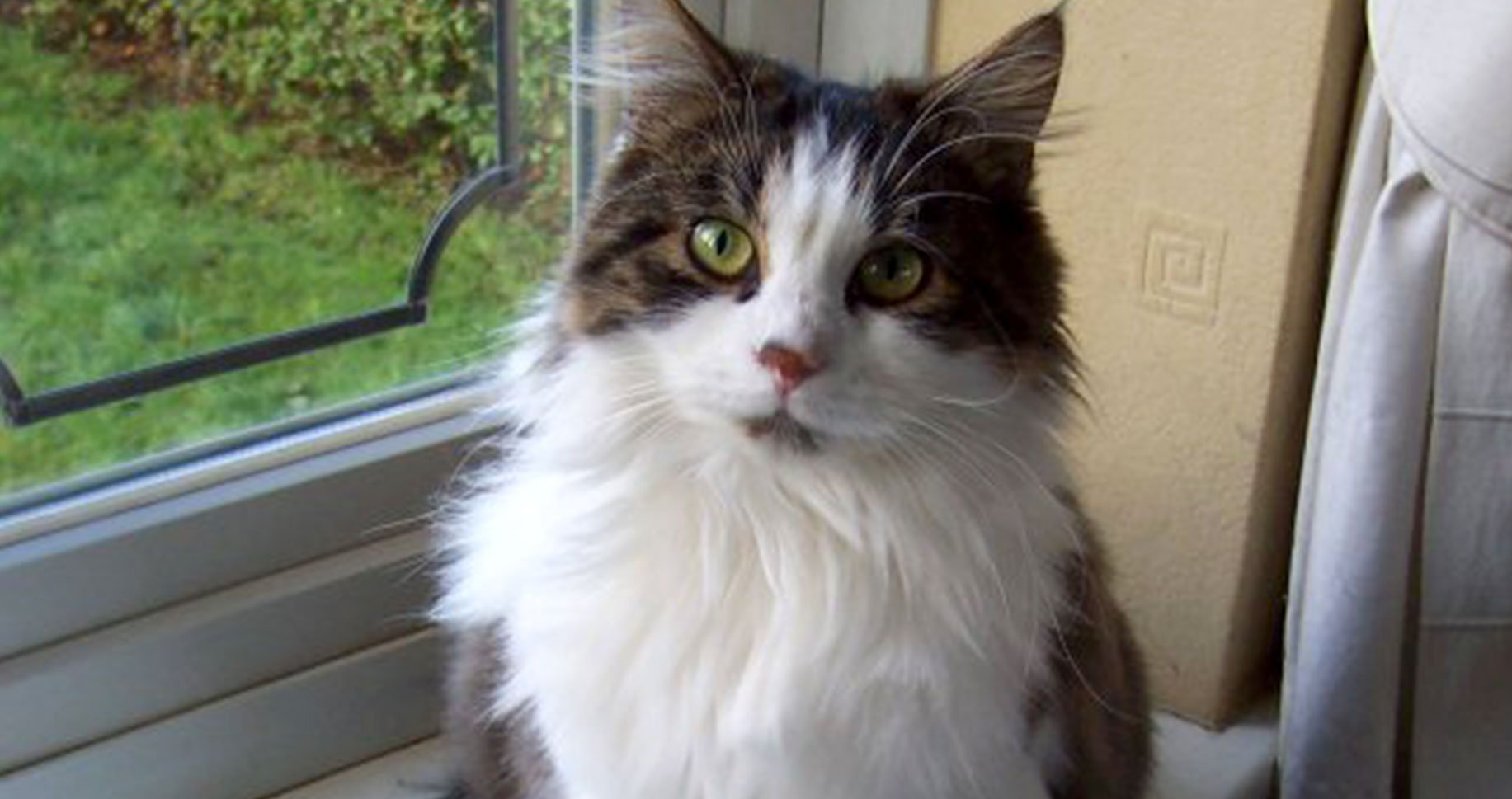 Image of a long haired tabby & white cat sitting on a windowsill