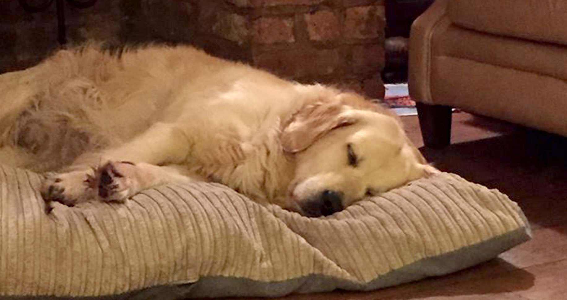 Image of a golden retriever sleeping on a dog bed