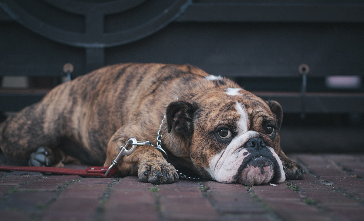 Image of a brindle boxer dog lying on the floor