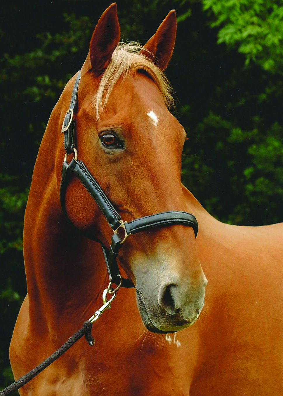 Image of a chestnut thoroughbred horse wearing a leather head collar