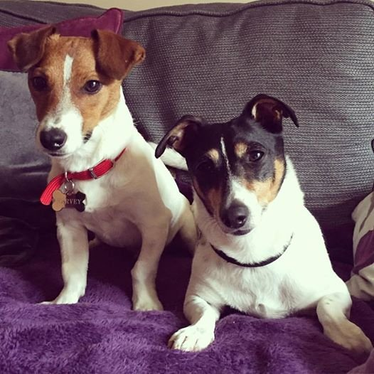 Two Jack Russel Terriers, Harvey & Spike