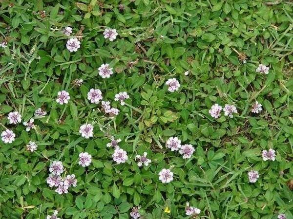 Phyla-nodiflora