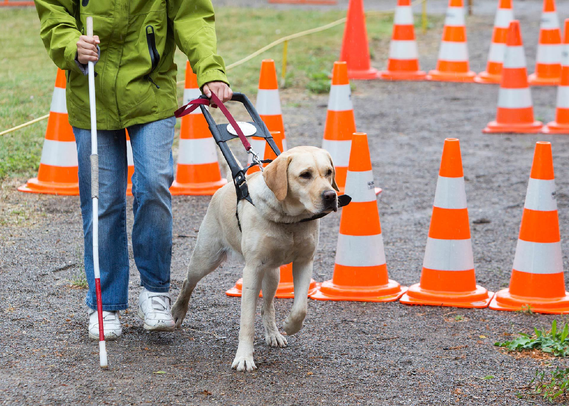 Picture of a guide dog