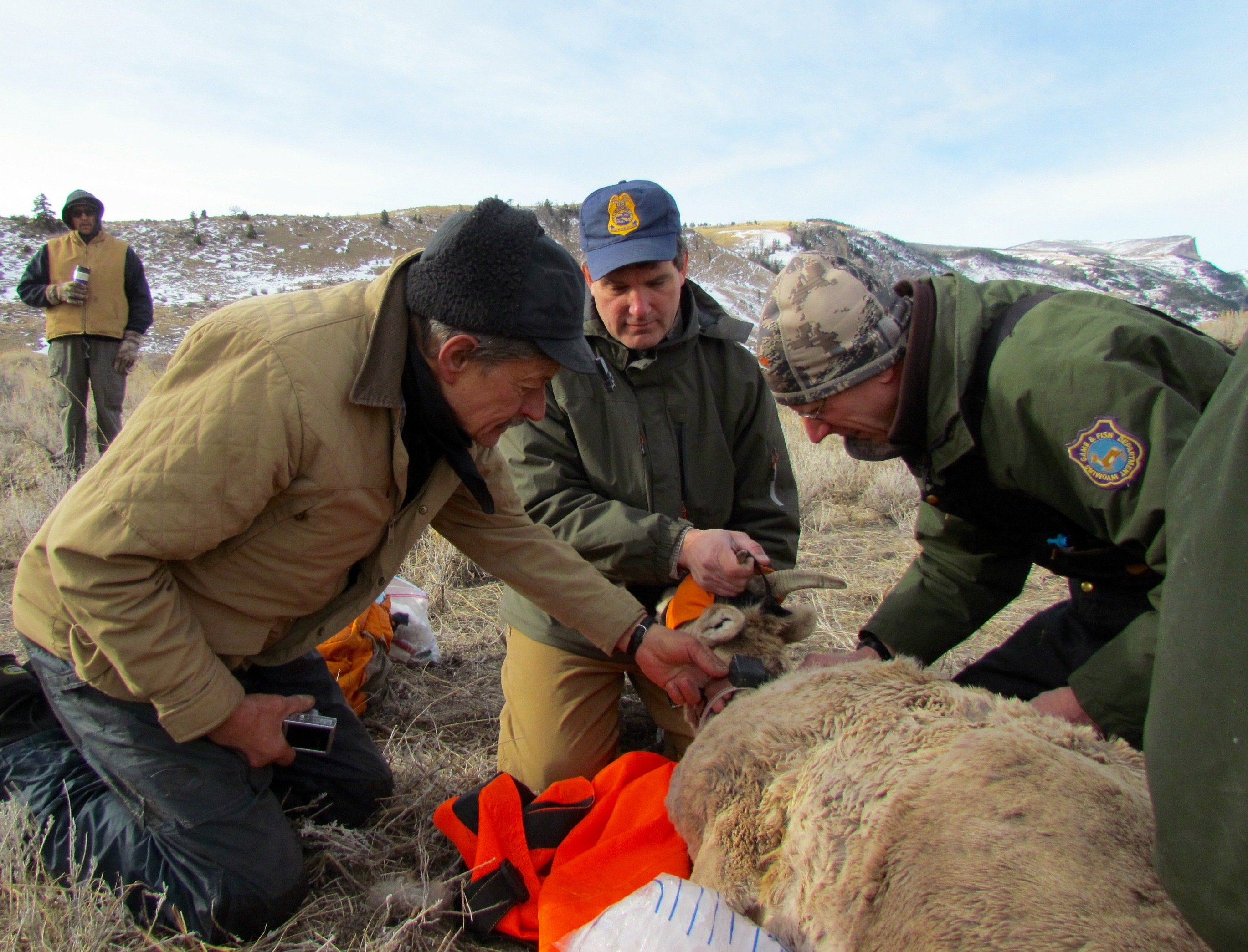 bighorn sheep are captured and collared