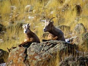 Bighorn Ewe and Lamb