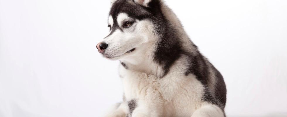 cane Husky maschio