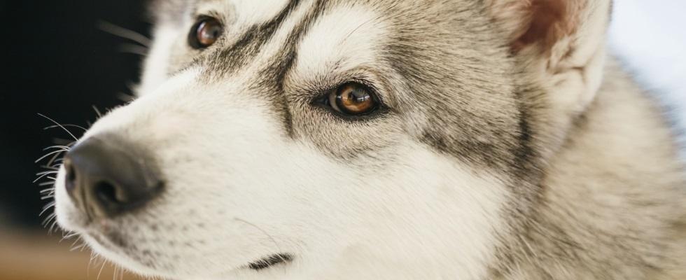 testa cane Husky