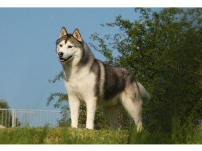 cane razza derek