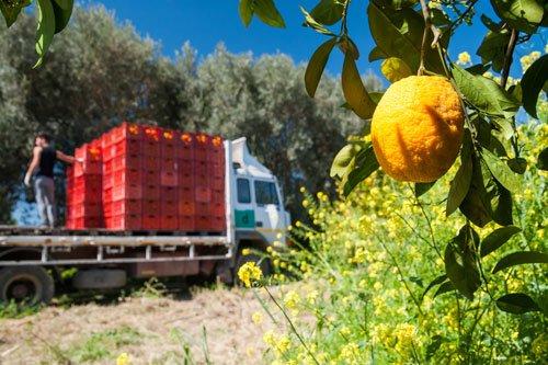 Primo piano vista di un limone sull'albero e un camion carico di cassette di frutta